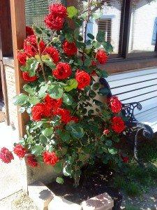 Au milieu des roses